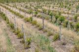 a landscape of vineyards
