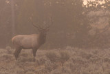 Bull Elk on a Foggy Morning