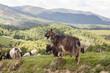 Herd of goats in green pasture