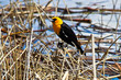 Side view of a male yellow headed blackbird