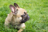 Dog at the grass background