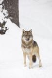 Szary wilk w zimie