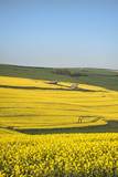Beautiful landscape image of ripe rapeseed canola crop in Spring in English countryside