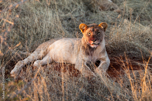 Poster Lioness