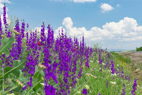 beautiful purple flowers in the fields