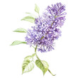 Illustration in watercolor of a Lilac flower blossom. Floral card with flowers. Botanical illustration.