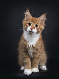 Red tabby with white Maine Coon kitten (Orchidvalley) sitting isolated on black background looking at camera