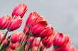 Close-up of red tulips photographed with selective focus