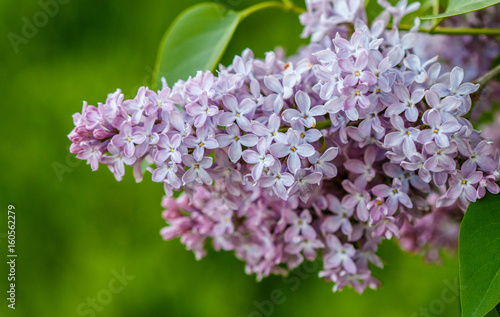 Blooming lilacs close up. Shallow depth of field