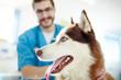 Muzzle of cute siberian husky visiting vet