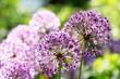 purple allium flowers growing in the garden
