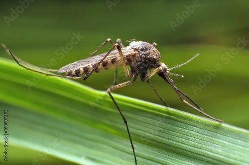 Mosquito - 160607282