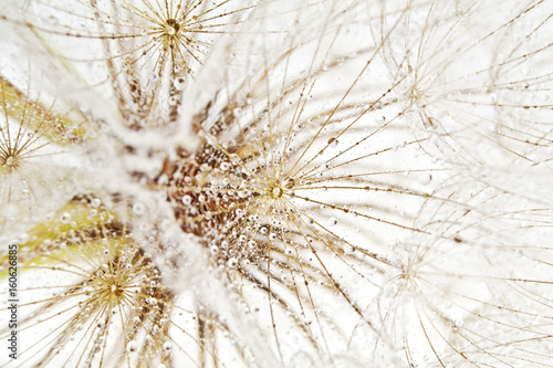 Isolated dandelion with dew as background. Close-up of dewdrop on the head of dandelion. - 160626885