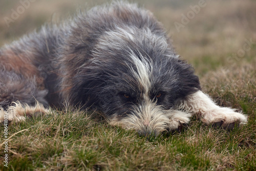 A large dog in the grass Poster