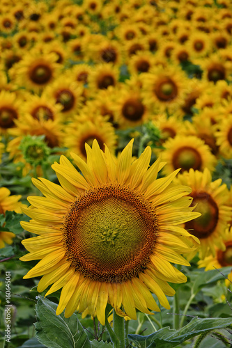 A blooming sunflower stands out in a field of blooms.