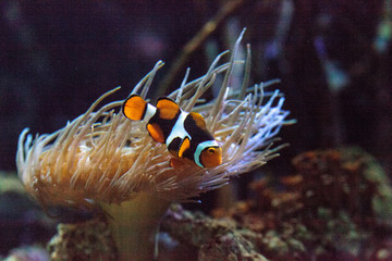 Clownfish, Amphiprioninae, in a marine fish