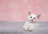 Small fluffy white kitten laying on a fluffy gray blanket looking directly at viewer. Textured marbled pink background. Copy space - 160669417