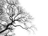 Dead branches tree isolated on white background - 160699433