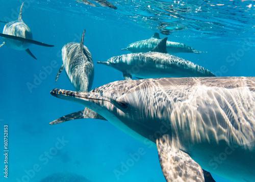 Fotobehang Dolfijn Schule Osttpazifischer Delfine im Roten Meer
