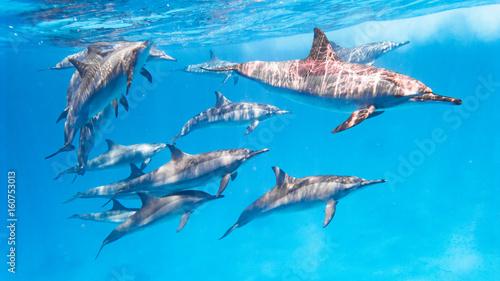 Aluminium Dolfijn Delfin Schule im Roten Meer