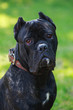 dog breed cane corso italiano