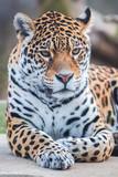 Leopard, panther, Panthera pardus