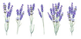 Lavandula aromatic herbal flowers. - 160761055
