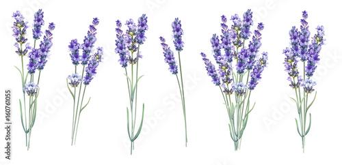 Lavandula aromatic herbal flowers.