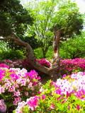 躑躅咲く公園風景