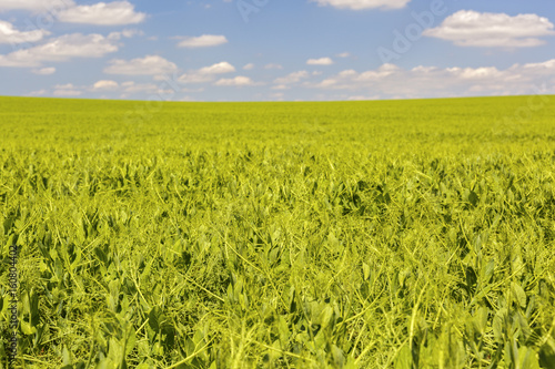 Green field with a pea culture