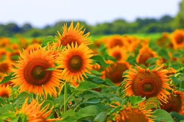 Agriculture farmer wheat harvest sunflower