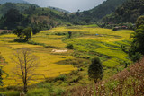 Golden Rice Field, a beautiful natural beauty on mountain in Nan, Nan Province, Thailand.