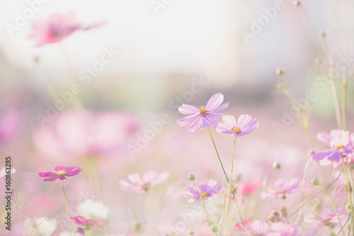 pink cosmos flower blooming in the field - 160863285