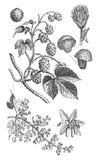 Common hop (Humulus Lupulus) / vintage illustration  - 160864650