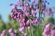 Цветущий лук Allium cernuum