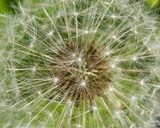 Dandelion with ripe seeds texture, macro, selective focus, shallow DOF