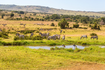 Waterhole on the savanna with zebras and cranes