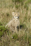 Cheetah, South Africa - 160904467
