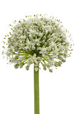 Flower head of  edible onion, lat. Allium cepa, isolated on white background