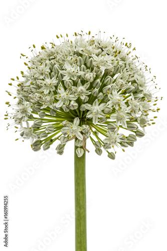Plakat Flower head of edible onion, lat. Allium cepa, isolated on white background