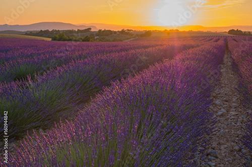 Coucher de soleil sur le champ de lavande en Provence, France. Valensole.