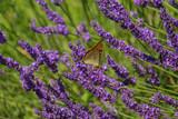 Papillon Grand nacré (Aglaé) sur la lavande.