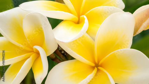 Fototapeta Close up of yellow tiare flowers at green outdoors background