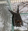 Fruit bat hanging upside down, front view A full body fruit bat hanging up side down from its wire cage, front view of its belly