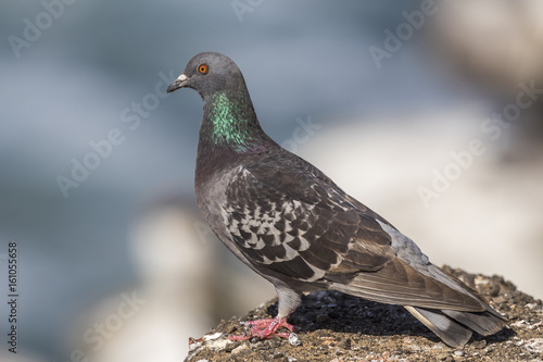 Rock Dove perched on a rock overlooking the Pacific Ocean - San Diego, California