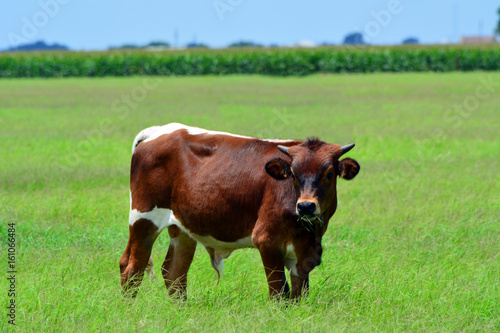 Young Longhorn Bull Eating/Young Brown Longhorn bull eating in a grassy field