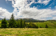 conifer forest on a hill in summer landscape