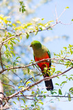 Australian king parrot female