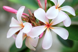 Group of white and pink flowers (Frangipani, Plumeria) in the ga