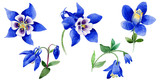 Wildflower Blue aquilegia flower in a watercolor style isolated.